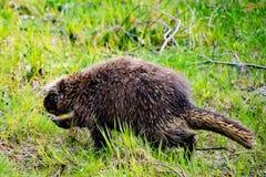 Porcupine που περπατά στη δασική χλόη στοκ εικόνες