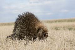 Porcupine που περπατά στον τομέα Στοκ Εικόνες