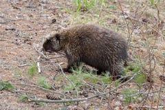 Porcupine που περπατά στο δάσος στοκ φωτογραφίες