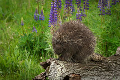 Porcupine πόδι dorsatum Erethizon στο στόμα Στοκ εικόνες με δικαίωμα ελεύθερης χρήσης