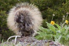 Porcupine στα δάση Στοκ φωτογραφία με δικαίωμα ελεύθερης χρήσης