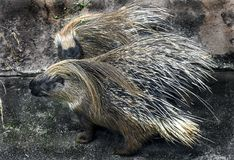 Porcupine στην περίφραξή του Στοκ Εικόνα