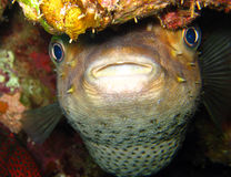 Porcupine ψάρια ή Blowfish - Diodontidae Στοκ φωτογραφίες με δικαίωμα ελεύθερης χρήσης