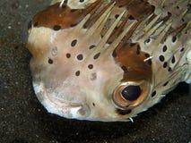 Porcupine ψάρια Στοκ Εικόνες