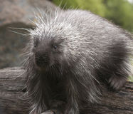 Porcupine Royalty Free Stock Image