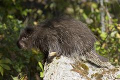 porcupine Arkivfoton