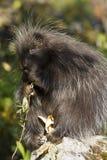 porcupine Στοκ φωτογραφίες με δικαίωμα ελεύθερης χρήσης