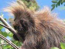 porcupine Arkivfoto