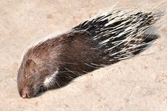 A porcupine Stock Images