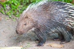 porcupine Royaltyfria Bilder