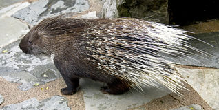 Porcupine 2 Royalty Free Stock Photography
