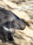 porcupine Arkivbilder