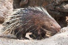 porcupine Royaltyfri Fotografi