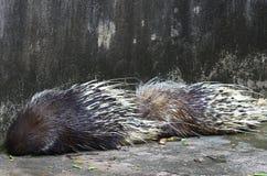 porcupine Royaltyfria Foton
