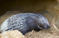 Porcupine Fotografering för Bildbyråer