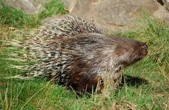 Porcupine Στοκ Φωτογραφίες