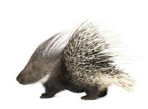 porcupine Arkivbild
