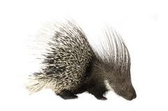 Porcupine Royalty Free Stock Photo