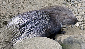 Porcupine 3 Royalty Free Stock Photography