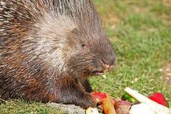 Porcupine Στοκ Φωτογραφία