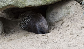 Porcupine Στοκ φωτογραφία με δικαίωμα ελεύθερης χρήσης