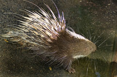 Porcupine. In thai zoo Royalty Free Stock Photo