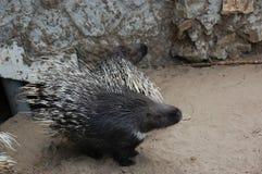 Porcupine Στοκ εικόνες με δικαίωμα ελεύθερης χρήσης
