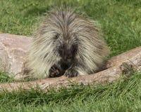 porcupine Foto de archivo