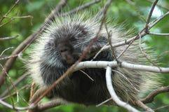 porcupine Royaltyfri Foto