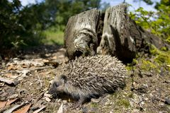 Porcupine Stock Images
