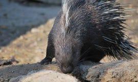 porcupine Stock Photography
