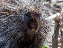 porcupine Fotografia Stock