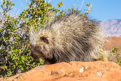 Porcupine. Adult North American Porcupine Foraging On Brush Royalty Free Stock Photos
