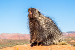 Porcupine. Adult North American Porcupine Sitting Up On Rocky Ledge Sniffing The Air Stock Photo
