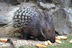 Porcupine animal Stock Image