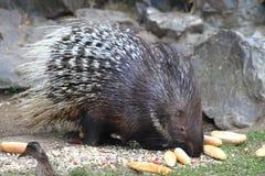 Porcupine animal Stock Image