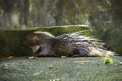 Porcupine asleep Stock Image