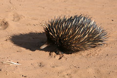 Porcupine, Australian Stock Photos