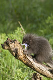 Porcupine baby Royalty Free Stock Photography