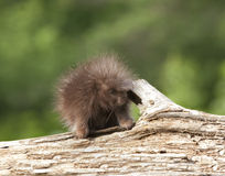 Porcupine Baby Royalty Free Stock Image