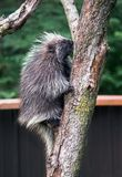 Full length porcupine in a back yard tree. A porcupine in a back yard tree, spends most of their lives in tree tops stock photo