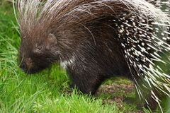 Porcupine browsing Royalty Free Stock Image