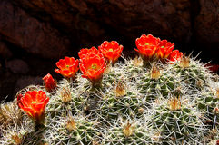 Porcupine Cactus in Bloom. Bright orange flowers blooming on a porcupine cactus Stock Photo