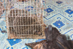 The porcupine in the cage wait for sell in the market Royalty Free Stock Image