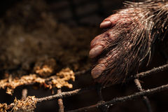 Porcupine carcass from a man kill Stock Images