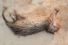Porcupine carcass from a man kill Stock Photography