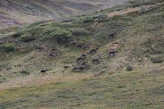 Porcupine caribou Rangifer tarandus granti. A herd of Porcupine caribou Rangifer tarandus granti in Denali National Park Stock Image