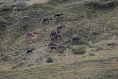 Porcupine caribou Rangifer tarandus granti Royalty Free Stock Photography
