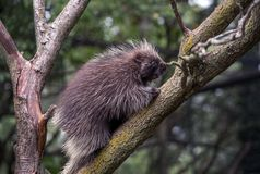 Porcupine climber in north America. Porcupines are tree climbers, spending most of their time high in the leafy branches royalty free stock images