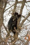 Porcupine climbing a tree in rural Manitoba royalty free stock images